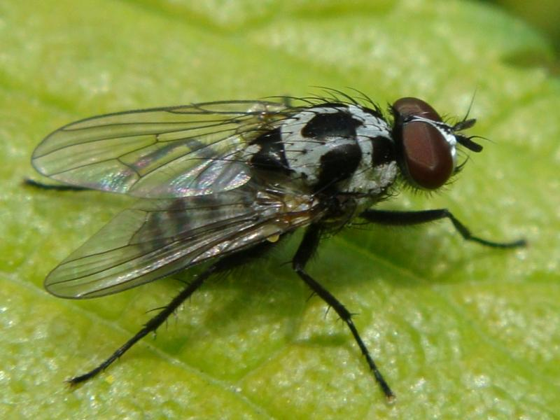 Anthomyia procellaris(m)